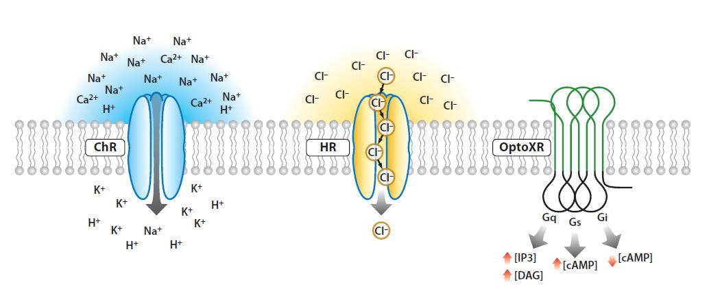 Piel Latinoamericana 325 FIGURA optogenetics-tipo-de-canales2