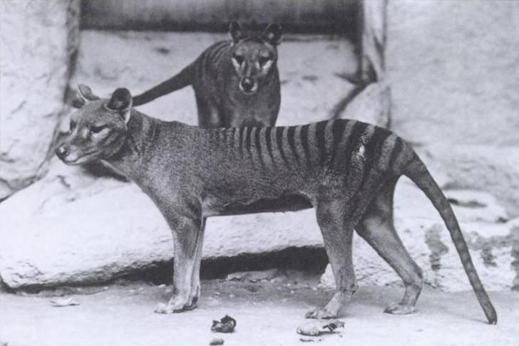 Thylacinus-tigre-de-Tasmania