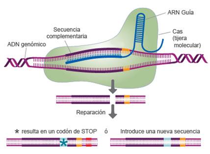 CRISPR-Cas-FIGURA