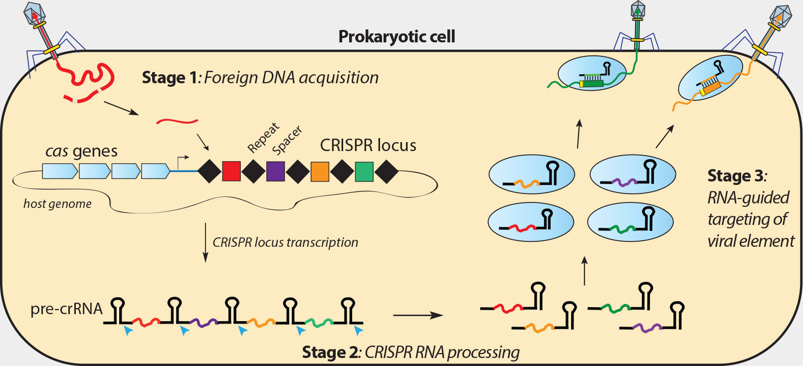 Crispr-pathway 'The Doudna Lab - Jennifer A. Doudna - University of California, Berkeley, EUA
