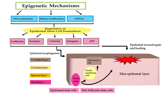 Epigenetic Regulation of Epidermal Differentiation 22